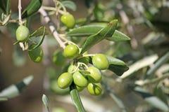 Aceitunas verdes en un árbol imagen de archivo