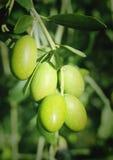 Aceitunas verdes en un árbol Imágenes de archivo libres de regalías
