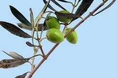 Aceitunas y hojas Imagen de archivo libre de regalías