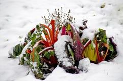 Acelga suíça vermelha nevado Imagens de Stock
