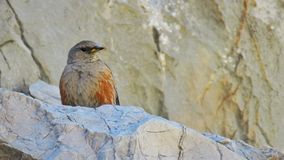 Acentor alpino Alpine accentor. Alpine accentor in a rock bird with red chest Stock Images