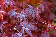 Acer. Palmatum, red, leaves, leave, japanese maple, tree, asia, asian, wet, rain drop, water pearl Royalty Free Stock Image