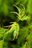 Acer. Japanese maple Stock Images