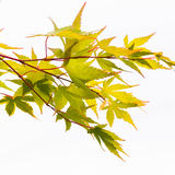 Acer. The green leaves of an acer tree, shot against a white background Stock Images
