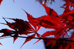 Acer. In fall Royalty Free Stock Photo
