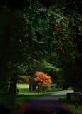 Acer树 库存照片