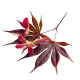 Acer-Ahornblätter Stockbild