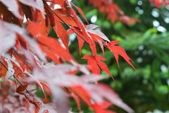 Acer araukarie. Araukarie and red japanese acer tree inside of a garden, red and green Stock Images