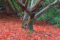 Acer-Baum Stockfoto