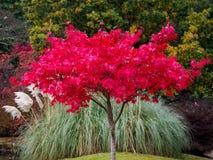 Acer-Baum-Blätter, die Farbe ändern Stockfotografie