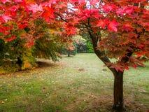 Acer-Baum-Blätter, die Farbe ändern Lizenzfreies Stockbild