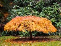 Acer-Baum-Blätter, die Farbe ändern Lizenzfreie Stockfotografie
