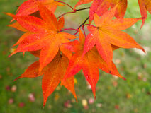 Acer-Baum-Blätter, die Farbe ändern Stockfotos