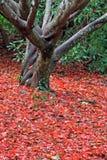 Acer-Baum im Herbst Lizenzfreie Stockbilder