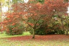 Acer-Baum mit Matte der roten Blätter Lizenzfreies Stockfoto