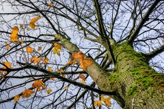 Acer-Baum - Acer-platanoides Norwegen-Ahorn mit einigen verlässt nach links in den goldenen Farben, Herbstsaison Stockfoto