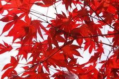 Acer-Baumblätter mable Blätter Stockfoto