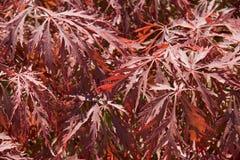 Acer-Blätter Lizenzfreies Stockbild