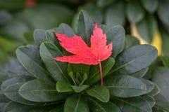 Acer-Blätter im Herbst Stockbilder