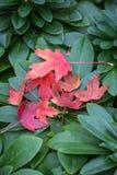 Acer-Blätter im Herbst Lizenzfreie Stockbilder