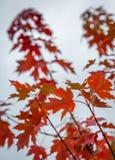 Acer-Blätter im Herbst Stockfotos