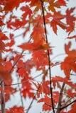 Acer-Blätter im Herbst Stockfoto