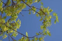 Acer-Blüte im Vorfrühling Lizenzfreies Stockbild