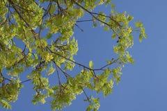 Acer-Blüte im Vorfrühling Stockfoto