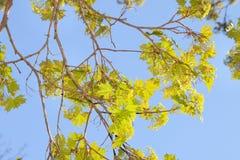 Acer-Blüte im Vorfrühling Stockbilder