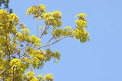 Acer-Blüte im Vorfrühling Lizenzfreies Stockfoto