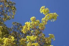 Acer-Blüte im Vorfrühling Lizenzfreie Stockfotografie