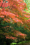 Acer blowing in autumn breeze. Red acer, or maple, leaves gently blurred by fall breeze Royalty Free Stock Photo
