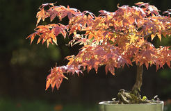 Acer bonsai tree. This bonsai tree is about thirty years old,in summer leaves are green but like all acers the leaves turn beautiful orange and reds in the stock photo