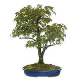 Acer bonsai tree, isolated Royalty Free Stock Photos
