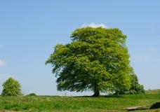 Acer-boom op een zonnige dag Royalty-vrije Stock Foto's