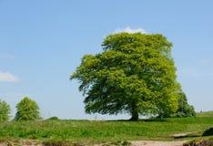Acer-boom op een zonnige dag Royalty-vrije Stock Fotografie