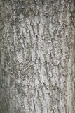 Acer campestre bark. Surface close up of Acer campestre bark Royalty Free Stock Image