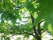Acer-campestre Baumblatt-Designnatur Stockfoto