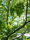 Acer-campestre Baumblatt-Designnatur Lizenzfreies Stockfoto