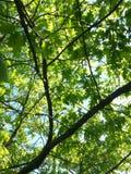 Acer-campestre Baumblatt-Designnatur Lizenzfreie Stockfotografie
