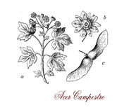 Acer campestre or field maple, botanical vintage engraving Stock Photo