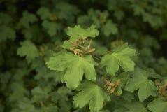 Acer-campestre Frucht Stockbilder