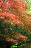 Acer che soffia in brezza di autunno Fotografia Stock Libera da Diritti