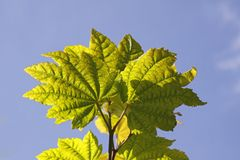 Acer circinatum, maple leaves Royalty Free Stock Photo