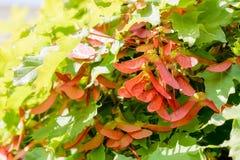 Acer Circinatum Samara Royalty Free Stock Photo