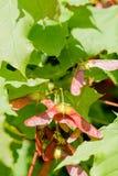 Acer Circinatum Samara Royalty Free Stock Image