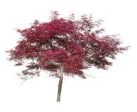 Acer, dekorativer Baum des japanischen Ahorns lokalisiert auf Weiß Stockbilder