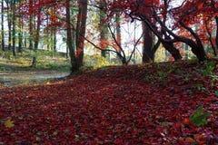 Acer e folhas vermelhos - outono imagens de stock royalty free