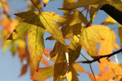 Acer foliage Stock Images