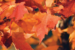Acer grandidentatum Nutt. red bigtooth maple, autumn theme, large detailed macro closeup Stock Image